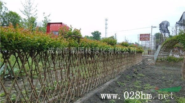 紫薇围墙/绿篱 百日红编织 紫薇造型技术图片