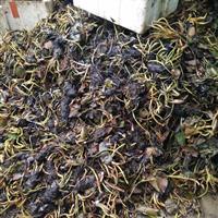 安徽蚌埠大量供应睡莲1000万棵低价出售,欢迎新老客户来电。