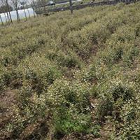 安吉供应鹅毛竹 另有紫竹斑竹罗汉竹等绿化竹苗