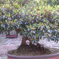 湖南蚊母树,蚊母盆景