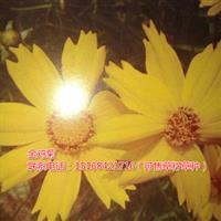 浙江地区供应大花金鸡菊、波斯菊、雏菊成苗(可售草籽草种)