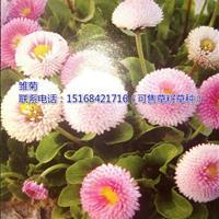 浙江地区供应大花金鸡菊、波斯菊、雏菊苗(可售草籽草种)