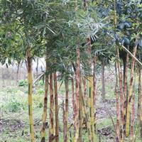 供应花杆早竹 另有金镶玉竹 黄槽竹黄杆乌哺鸡等绿化竹苗