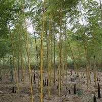 安吉供应花毛竹 另有黄槽毛竹 绿槽毛竹等绿化竹苗
