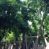 福建地区供应精品大叶榕40公分7米高