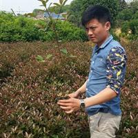 红叶石楠杯苗,红叶石楠营养袋,红叶石楠价格,4公分红叶石楠树
