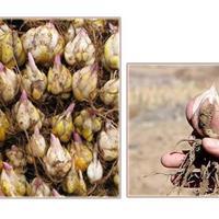 江苏百合种球大量供应,百合种球价格优惠