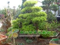 湖南造型榆树价格、湖南苗木基地、绿化苗木基地、湖南小苗