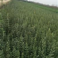 供应红叶石楠、水蜡、蔷薇、剑麻、黄馨、石榴、北海道黄杨