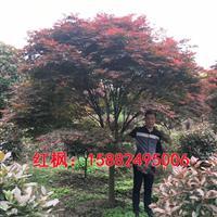 红枫,中国红枫,日本红枫,红枫规格齐全,红枫价格合理