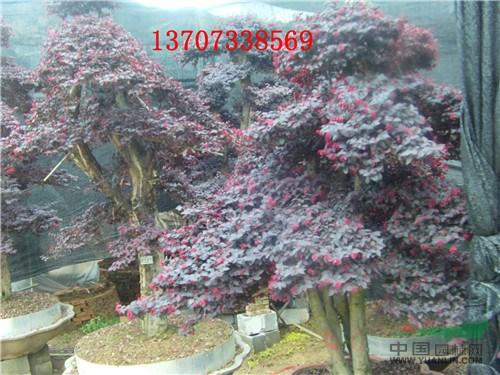 批发红继木桩 榆树桩 造型罗汉松 精品桂花