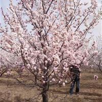 常年出售1-20棱海棠-山杏-新疆杨-李子树-油松果树等