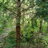 南方红豆杉,江西红豆杉供应,红豆杉大树低价销售