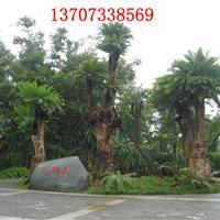 供应湖南绿化苗木1米铁树