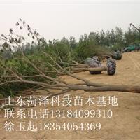 10公分香椿树价格