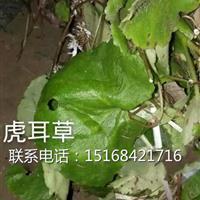 浙江地区大量供应水生植物草花虎耳草,量大从优