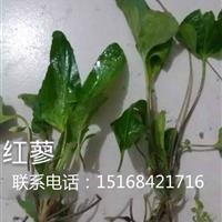 浙江地区自产自销草花水生植物红蓼,量大从优