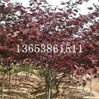 江苏紫叶加拿大紫荆最新价格|福建H80-100cm紫叶紫荆