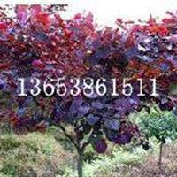 广西紫叶紫荆嫁接|屯昌县加拿大紫荆育苗