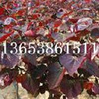 内蒙古红叶加拿大紫荆批发|咸宁供应紫叶加拿大紫荆
