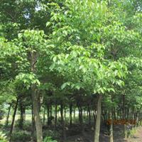 供应苗圃移栽重阳木,10公分--15公分全冠重阳木,3米分支