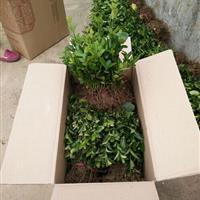 供应优质大叶黄杨扦插苗 地栽苗 大叶黄杨床苗 扦插苗价格