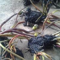 杭州萧山大量供应睡莲500万棵,低价出售