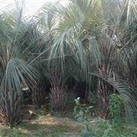 布迪椰子价格