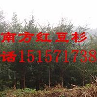 出售10公分- 12公分南方红豆杉,批发零售