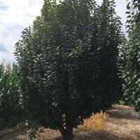 本公司常年出售八棱海棠-山杏-新疆杨-李子树-油松果树等