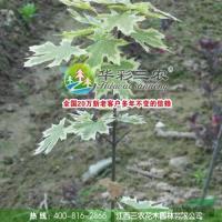 江西花叶挪威槭树2