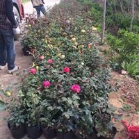 供應薔薇、豐花月季、紅帽月季、品種月季、玫瑰月季、樹狀月季