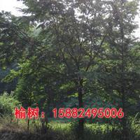 榆树,丛生榆树,榆树规格齐全,榆树价格优惠
