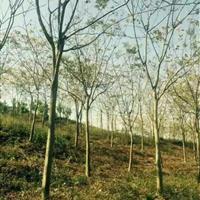 栾树基地,栾树小苗,1-16公分栾树