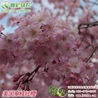 供应垂枝樱花新品种 美国垂枝红樱营养杯苗 优质樱花苗