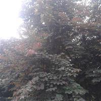 加拿大紫荆  红叶紫荆  巴干红 红叶巴干红