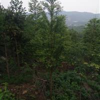 水杉   10cm-20cm