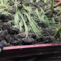 杭州萧山大量供应水葱2000万芽