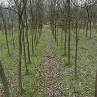 榔榆小苗,江西榔榆基地,3-10公分榔榆