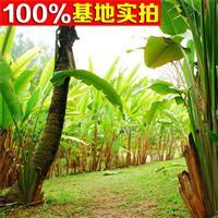 供应芭蕉、芭蕉小苗、芭蕉工程苗