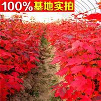 供应高杆红枫、高杆红枫小苗、高杆红枫工程苗