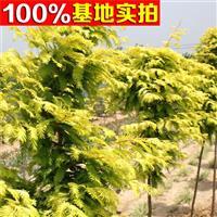 供应金叶水杉、金叶水杉小苗、金叶水杉工程苗