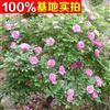 供应四季玫瑰、四季玫瑰小苗、四季玫瑰工程苗