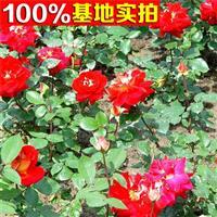 供应玫瑰月季、玫瑰月季小苗、玫瑰月季工程苗