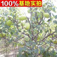 供应木瓜树、木瓜树小苗、木瓜树工程苗