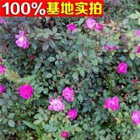 供应蔷薇月季、蔷薇月季小苗、蔷薇月季工程苗