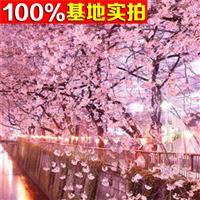 供应日本樱花、日本樱花小苗、日本樱花工程苗