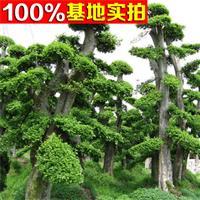 供应榆树、榆树小苗、榆树工程苗