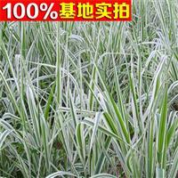 供应玉带草、玉带草小苗、玉带草工程苗