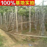 供应重阳木、重阳木小苗、重阳木工程苗